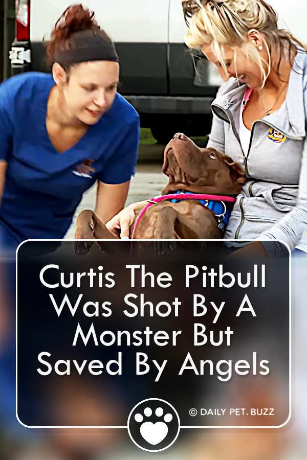 Curtis The Pitbull Was Shot By A Monster But Saved By Angels
