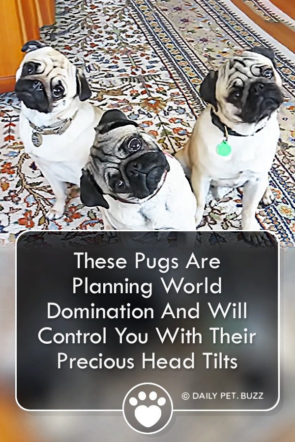 These Pugs Are Planning World Domination And Will Control You With Their Precious Head Tilts