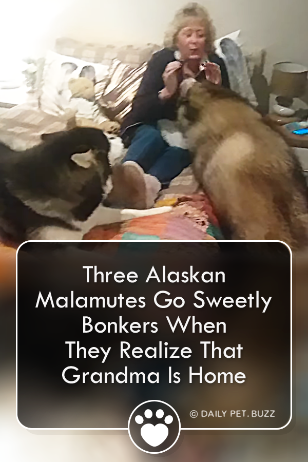 Three Alaskan Malamutes Go Sweetly Bonkers When They Realize That Grandma Is Home