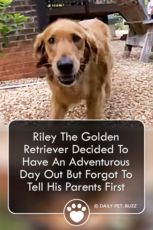Riley The Golden Retriever Decided To Have An Adventurous Day Out But Forgot To Tell His Parents First