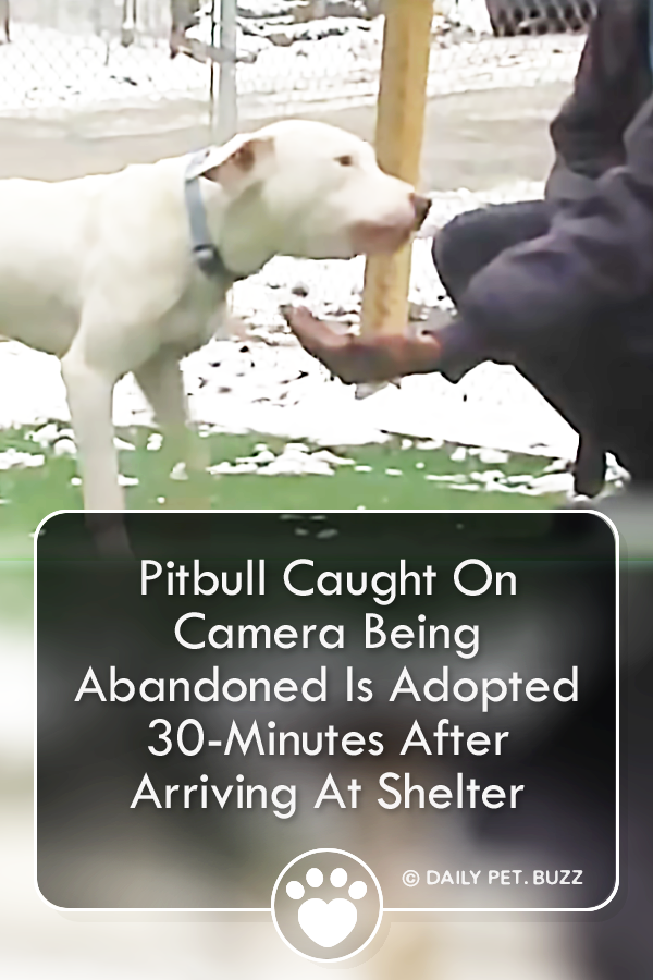 Pitbull Caught On Camera Being Abandoned Is Adopted 30-Minutes After Arriving At Shelter
