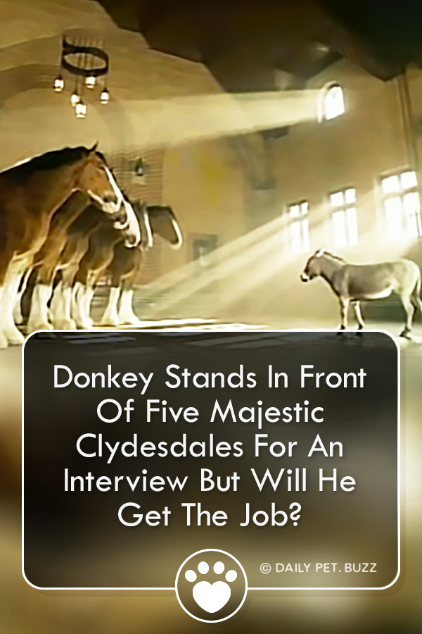 Donkey Stands In Front Of Five Majestic Clydesdales For An Interview But Will He Get The Job?