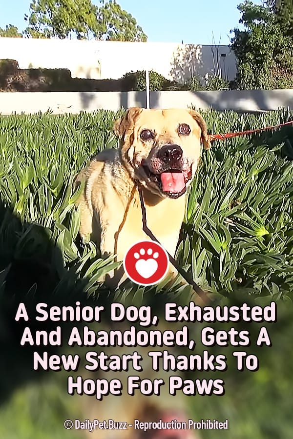 A Senior Dog, Exhausted And Abandoned, Gets A New Start Thanks To Hope For Paws