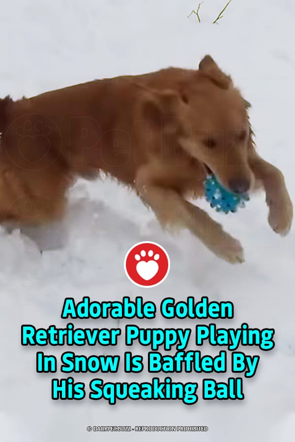 Adorable Golden Retriever Puppy Playing In Snow Is Baffled By His Squeaking Ball