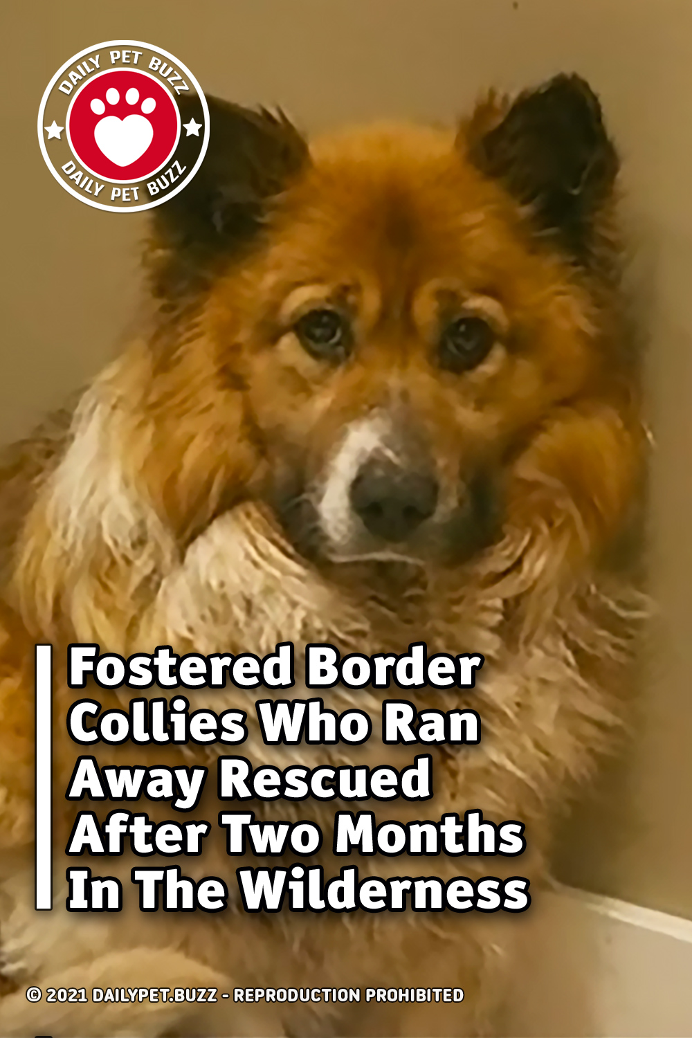 Fostered Border Collies Who Ran Away Rescued After Two Months In The Wilderness
