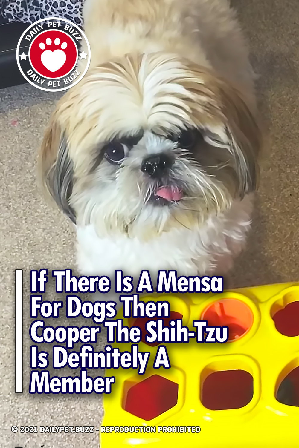 If There Is A Mensa For Dogs Then Cooper The Shih-Tzu Is Definitely A Member