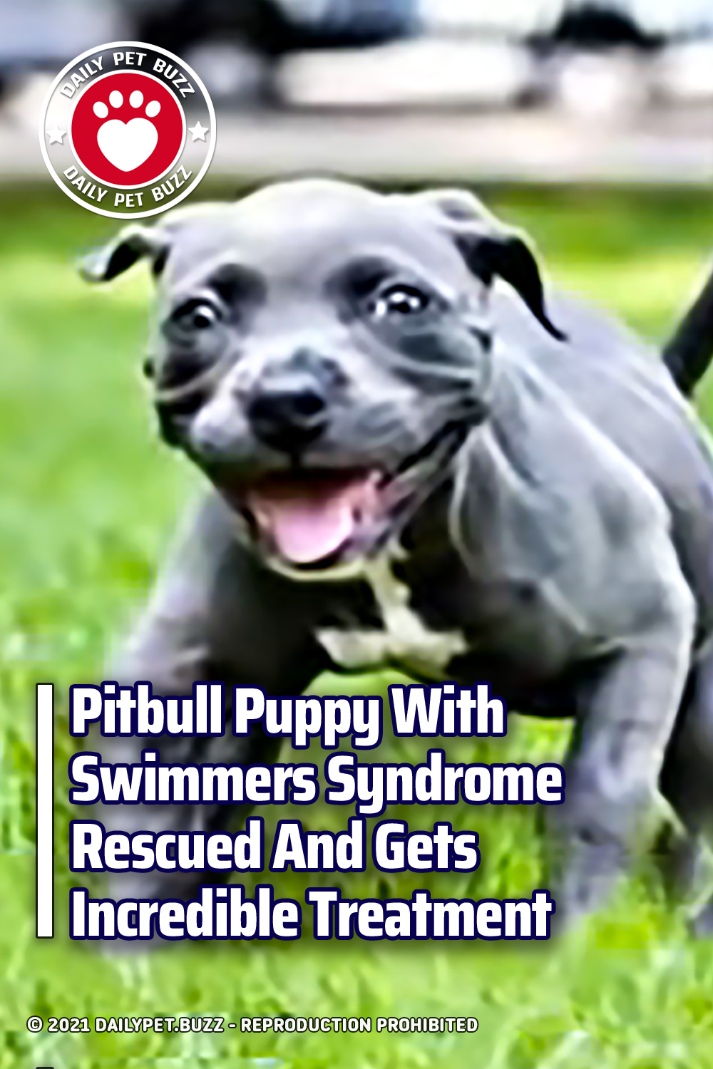 Pitbull Puppy With Swimmers Syndrome Rescued And Gets Incredible Treatment