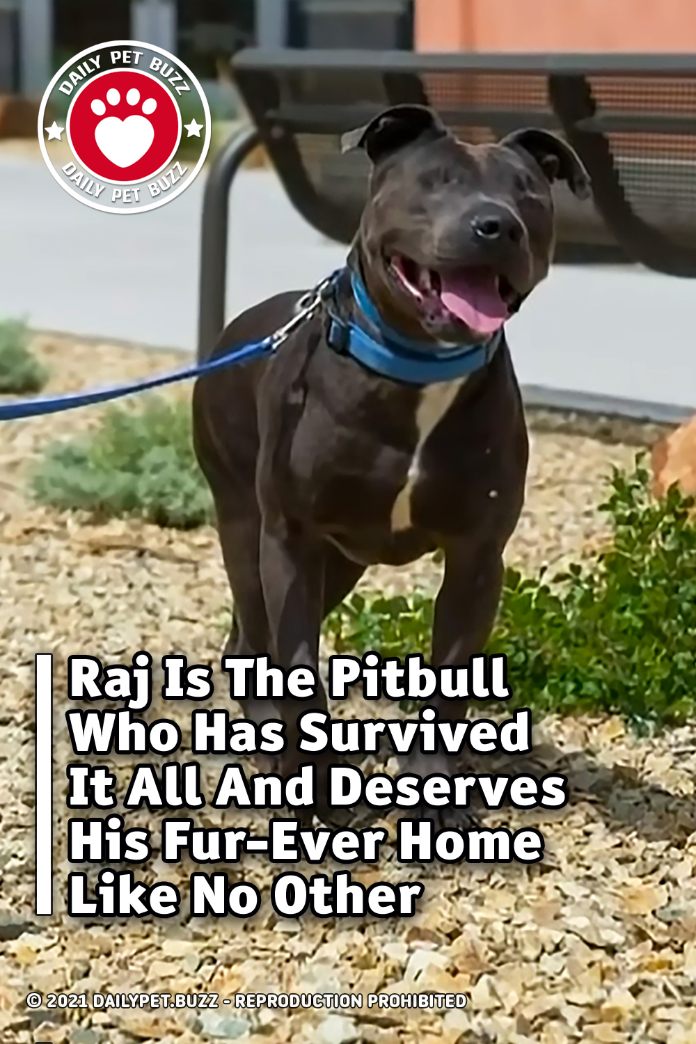 Raj Is The Pitbull Who Has Survived It All And Deserves His Fur-Ever Home Like No Other