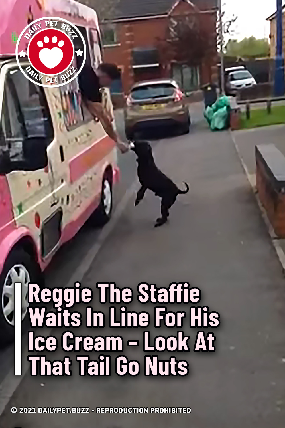 Reggie The Staffie Waits In Line For His Ice Cream – Look At That Tail Go Nuts