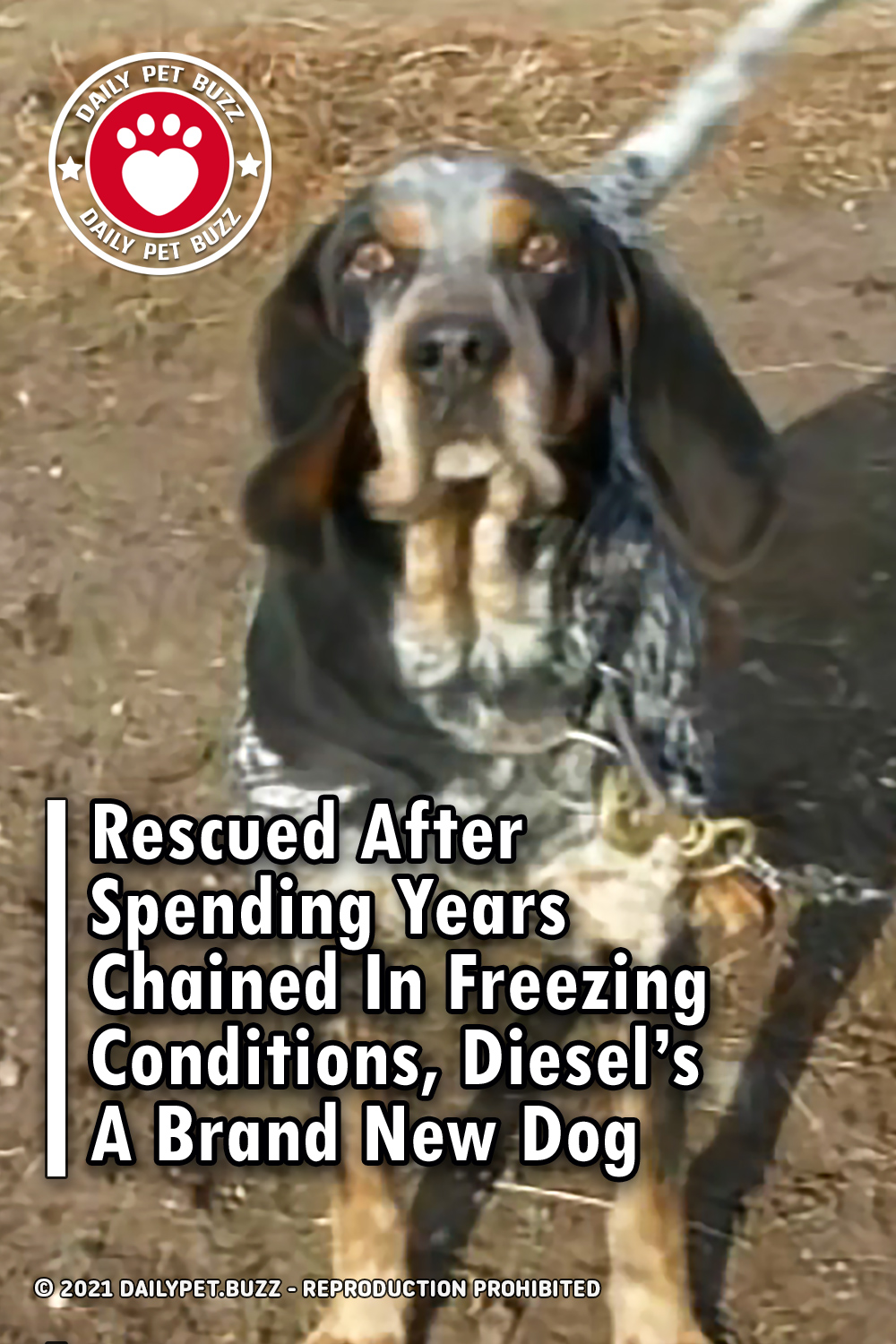 Rescued After Spending Years Chained In Freezing Conditions, Diesel\'s A Brand New Dog