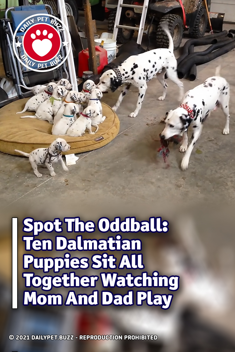 Spot The Oddball: Ten Dalmatian Puppies Sit All Together Watching Mom And Dad Play