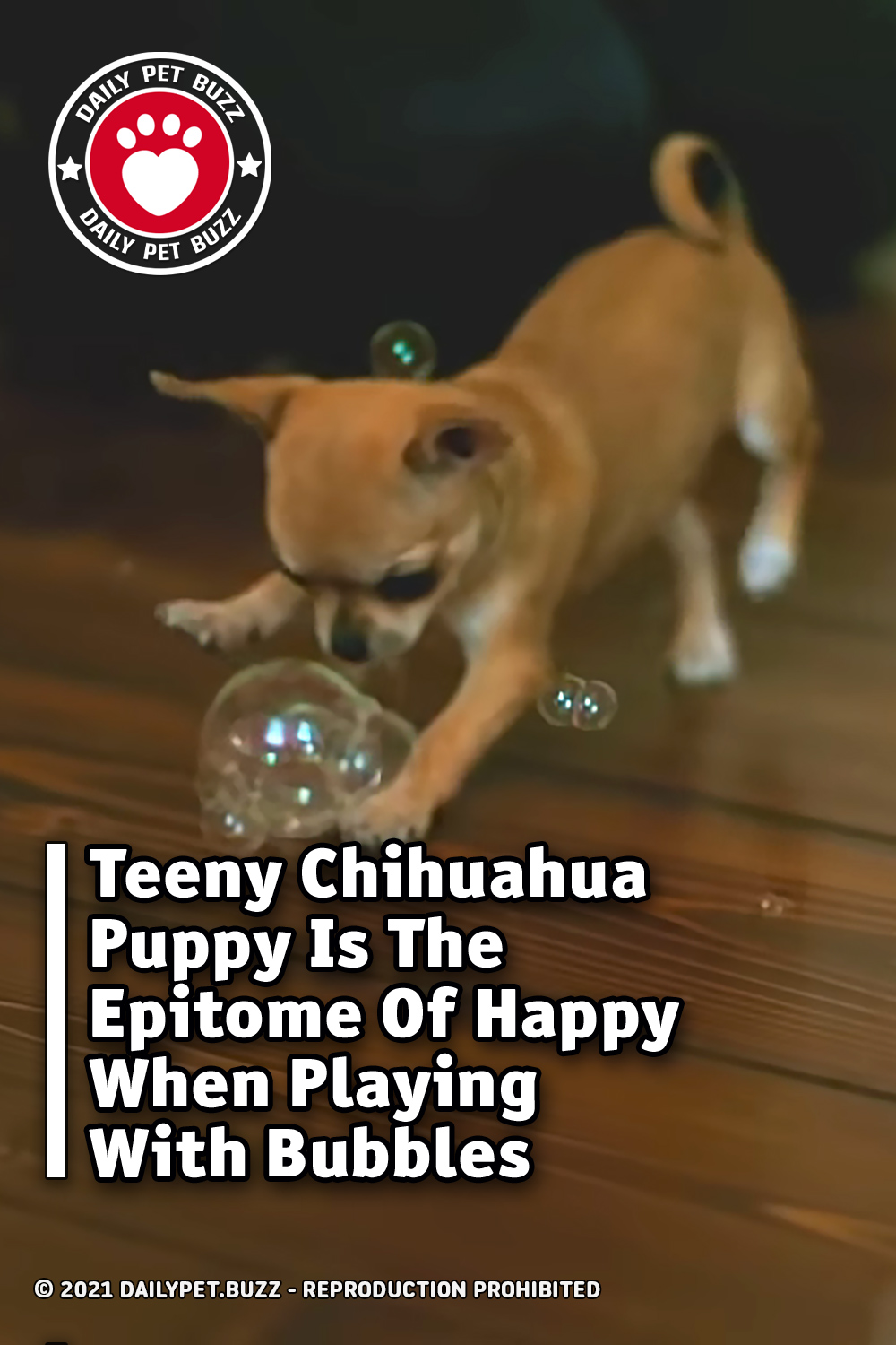 Teeny Chihuahua Puppy Is The Epitome Of Happy When Playing With Bubbles
