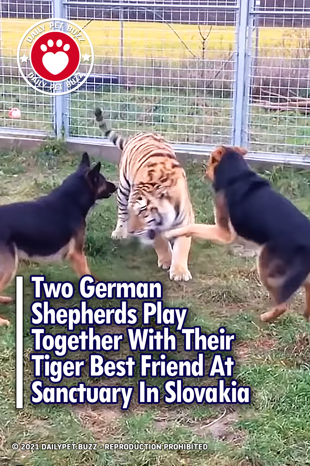 Two German Shepherds Play Together With Their Tiger Best Friend At Sanctuary In Slovakia