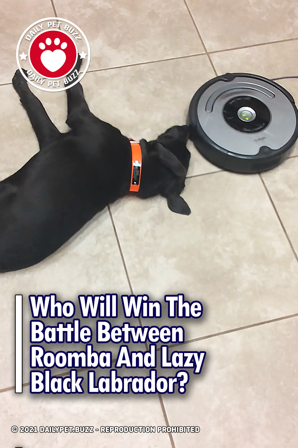 Who Will Win The Battle Between Roomba And Lazy Black Labrador?