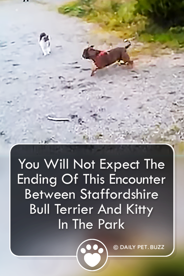 You Will Not Expect The Ending Of This Encounter Between Staffordshire Bull Terrier And Kitty In The Park
