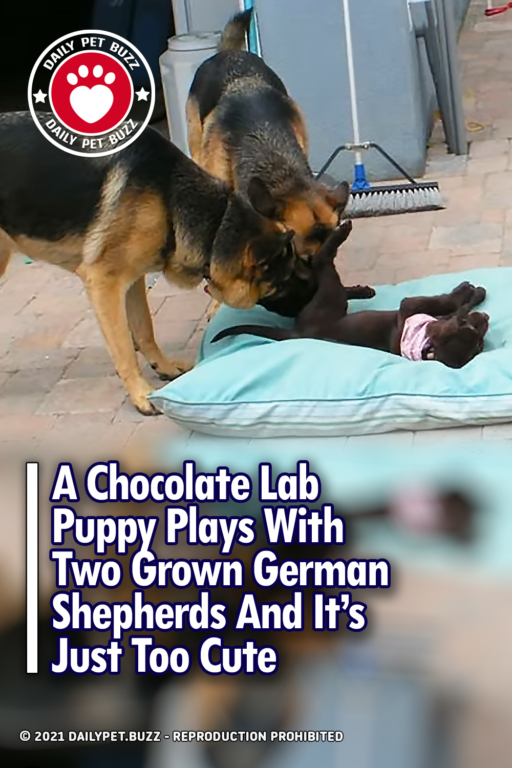 A Chocolate Lab Puppy Plays With Two Grown German Shepherds And It\'s Just Too Cute