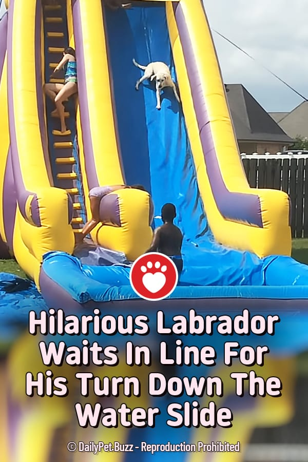 Hilarious Labrador Waits In Line For His Turn Down The Water Slide