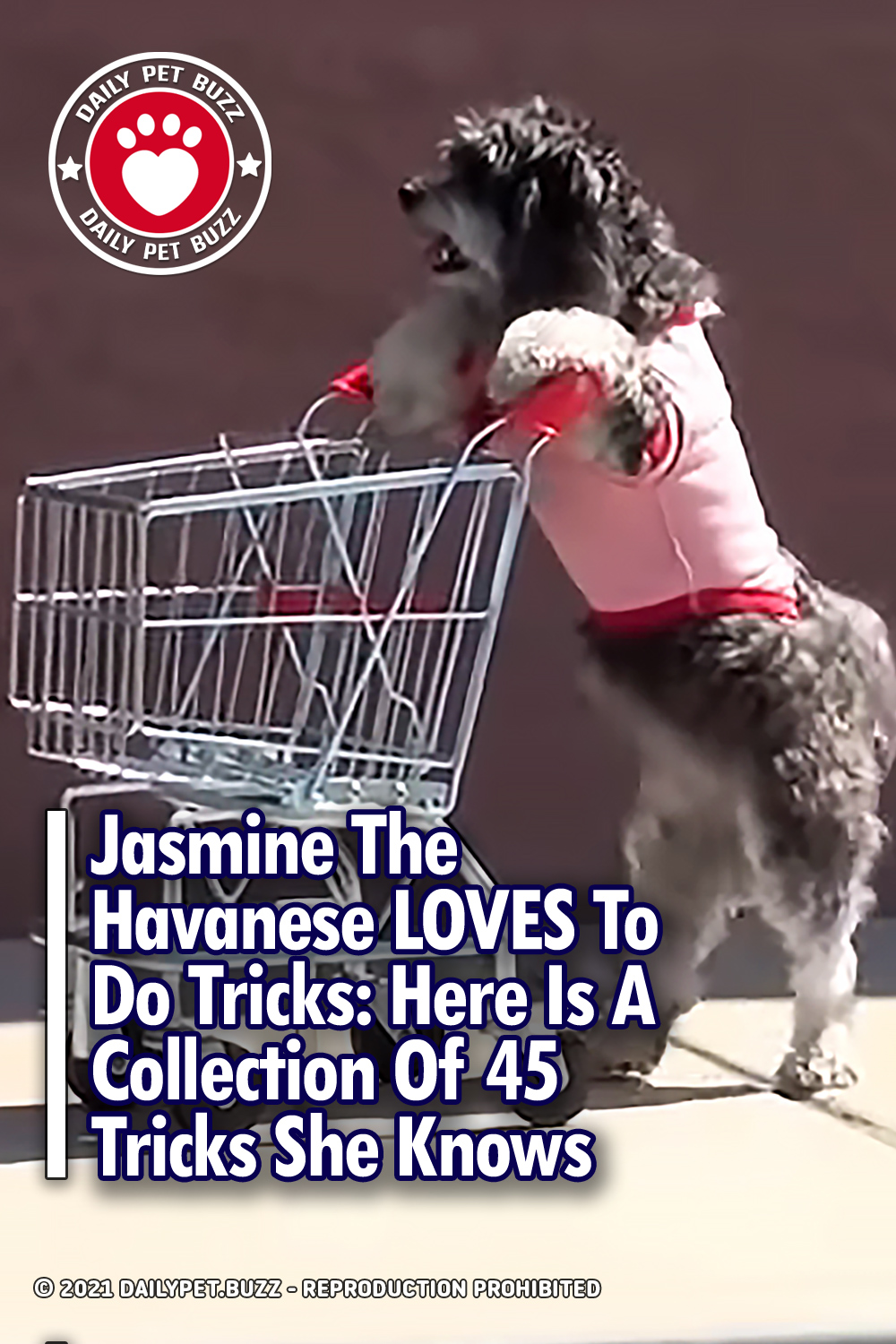 Jasmine The Havanese LOVES To Do Tricks: Here Is A Collection Of 45 Tricks She Knows