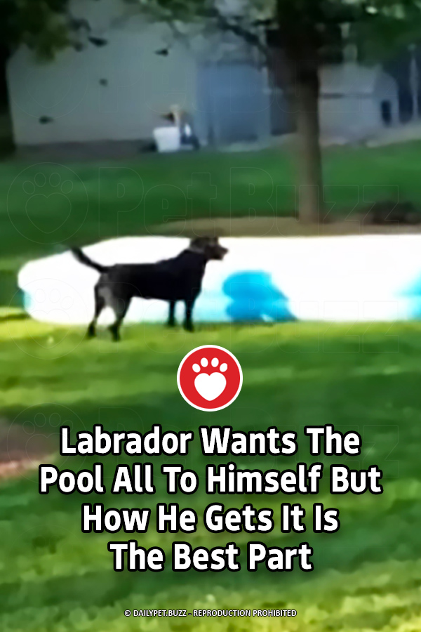 Labrador Wants The Pool All To Himself But How He Gets It Is The Best Part