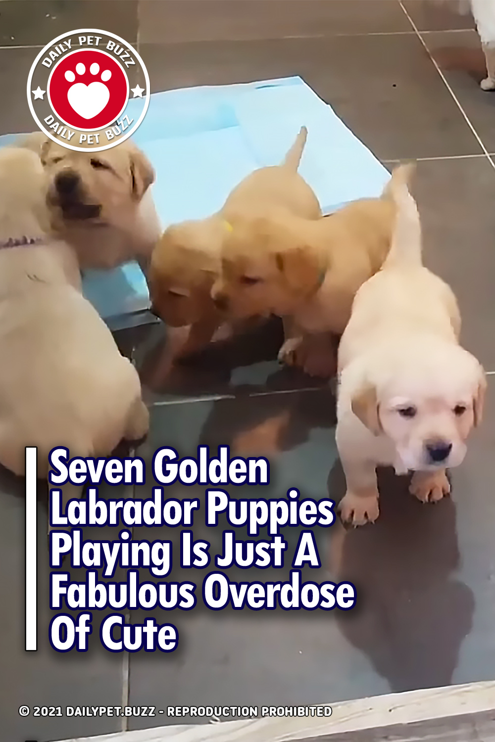 Seven Golden Labrador Puppies Playing Is Just A Fabulous Overdose Of Cute