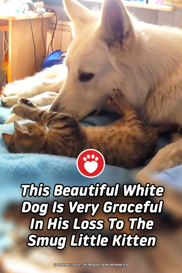 This Beautiful White Dog Is Very Graceful In His Loss To The Smug Little Kitten