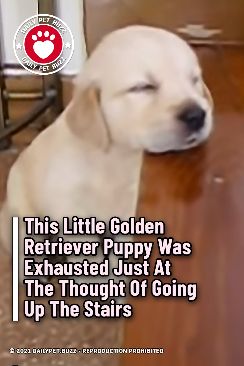 This Little Golden Retriever Puppy Was Exhausted Just At The Thought Of Going Up The Stairs