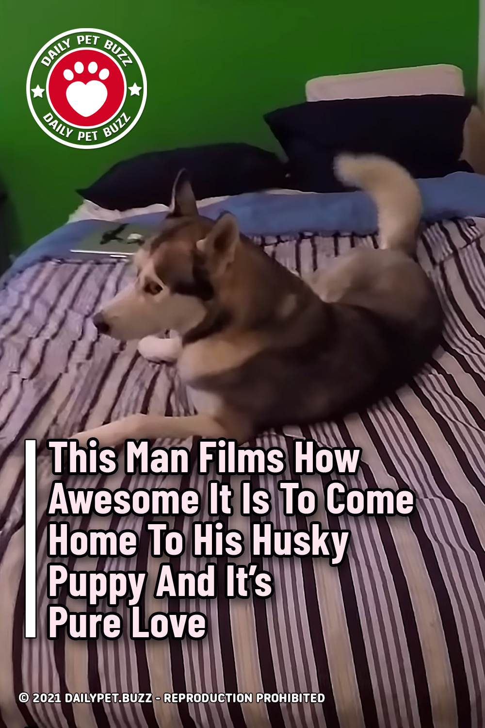 This Man Films How Awesome It Is To Come Home To His Husky Puppy And It\'s Pure Love