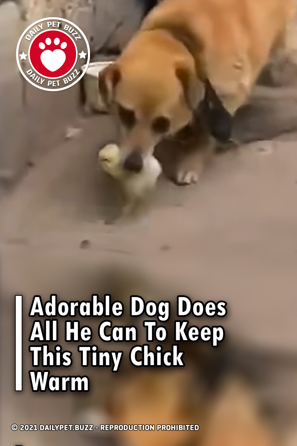 Adorable Dog Does All He Can To Keep This Tiny Chick Warm