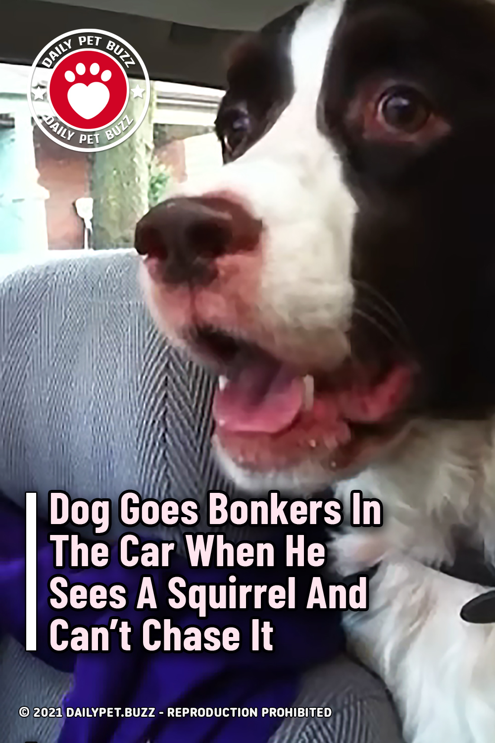 Dog Goes Bonkers In The Car When He Sees A Squirrel And Can\'t Chase It