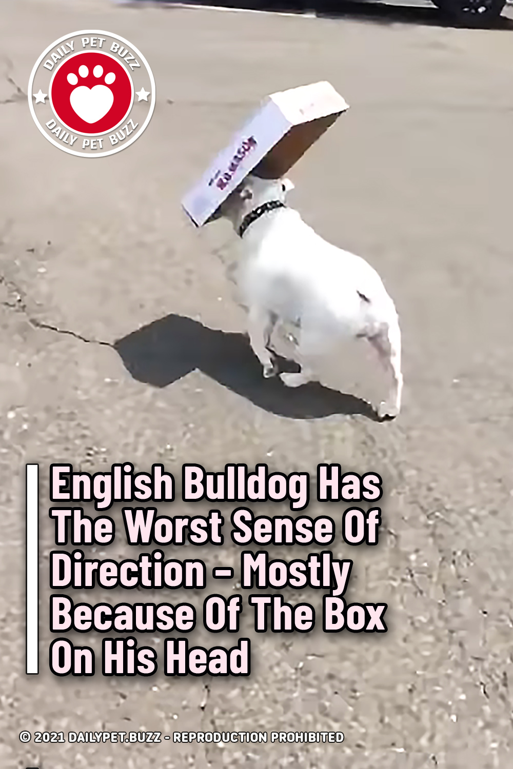 English Bulldog Has The Worst Sense Of Direction – Mostly Because Of The Box On His Head