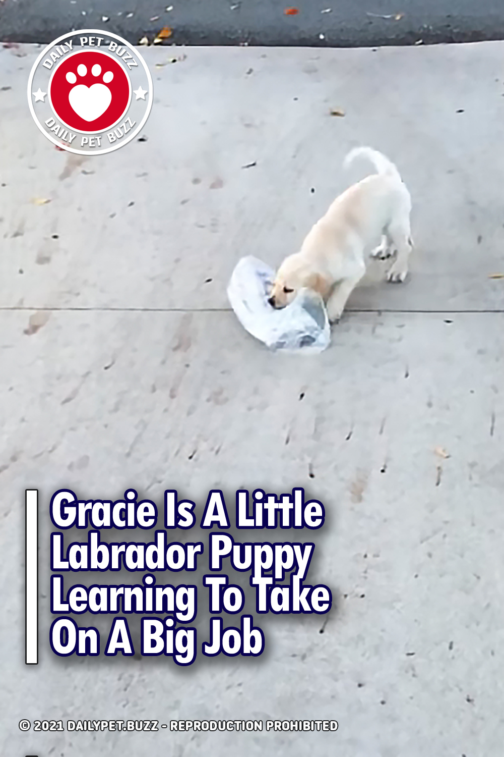 Gracie Is A Little Labrador Puppy Learning To Take On A Big Job