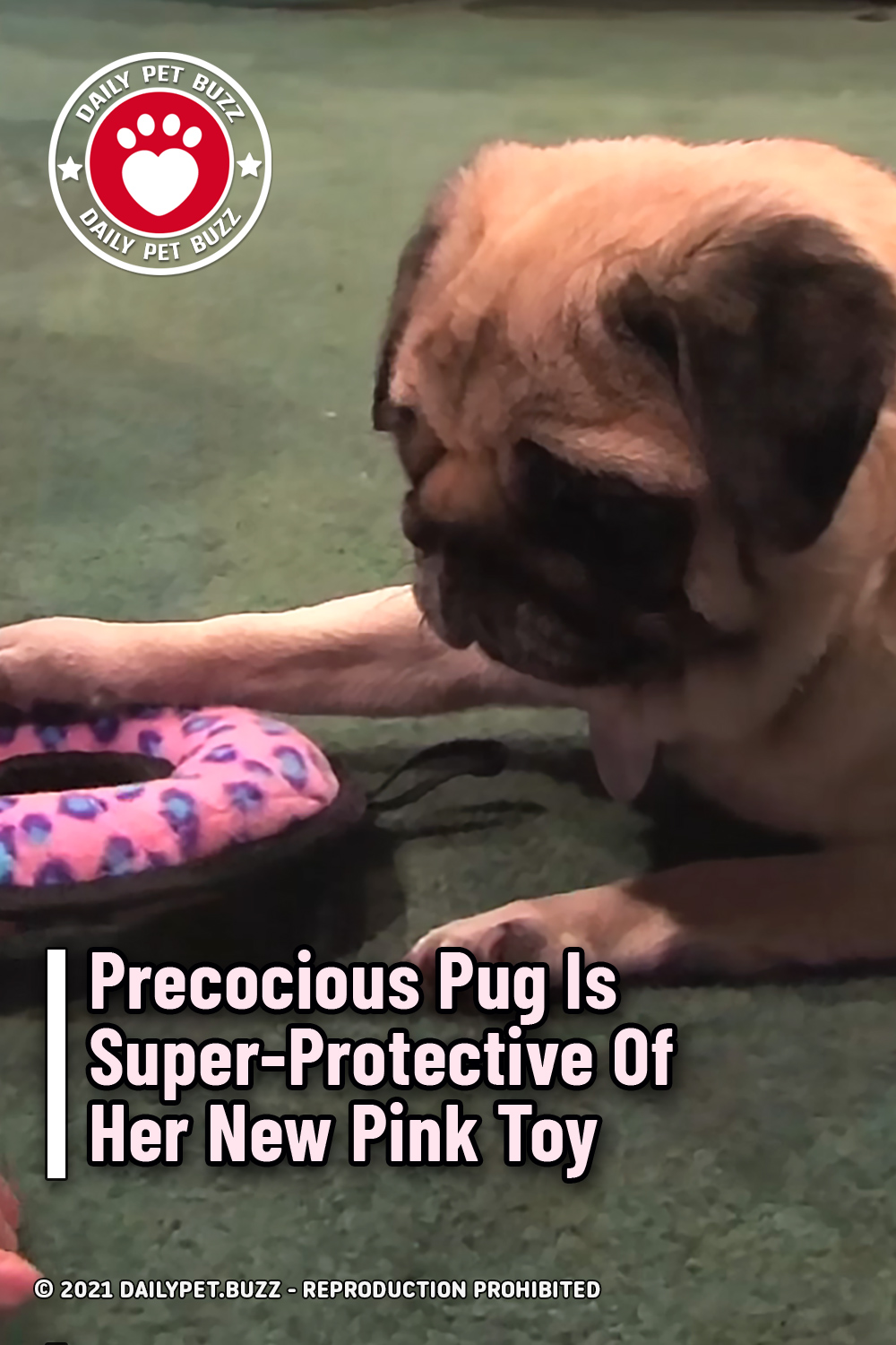 Precocious Pug Is Super-Protective Of Her New Pink Toy