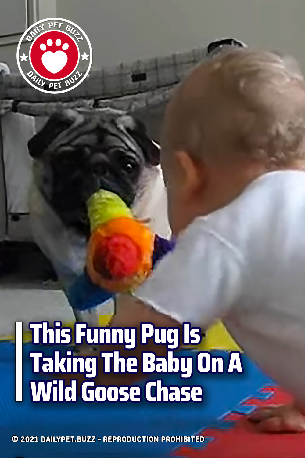This Funny Pug Is Taking The Baby On A Wild Goose Chase