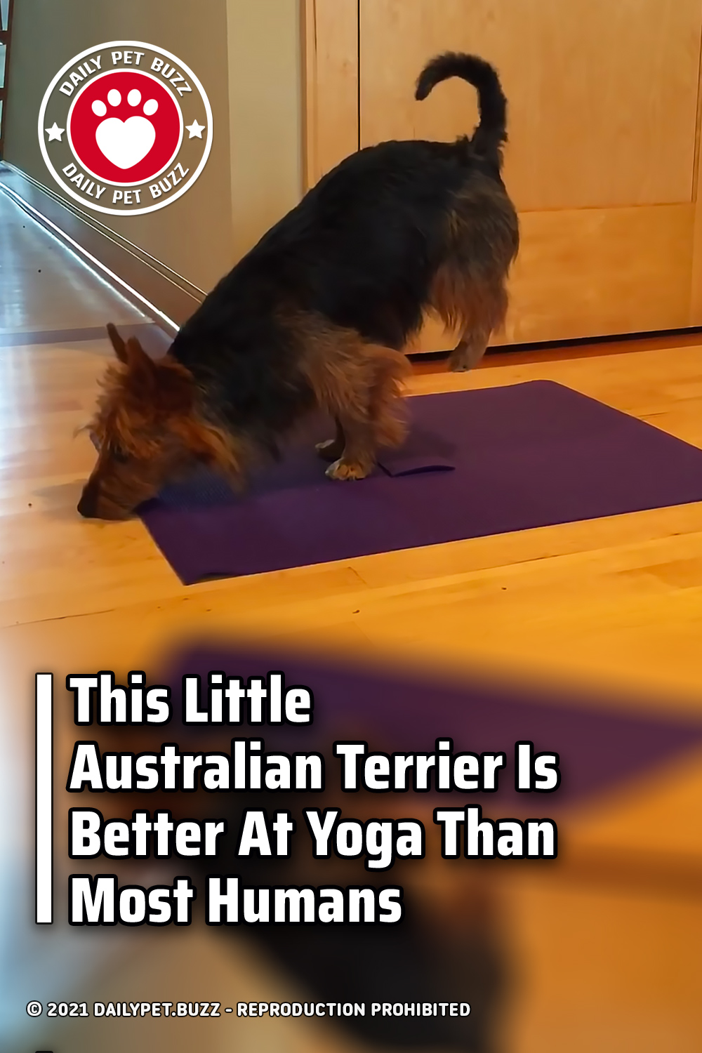This Little Australian Terrier Is Better At Yoga Than Most Humans