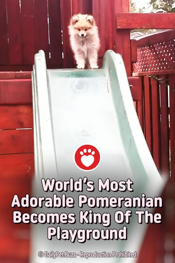 World\'s Most Adorable Pomeranian Becomes King Of The Playground