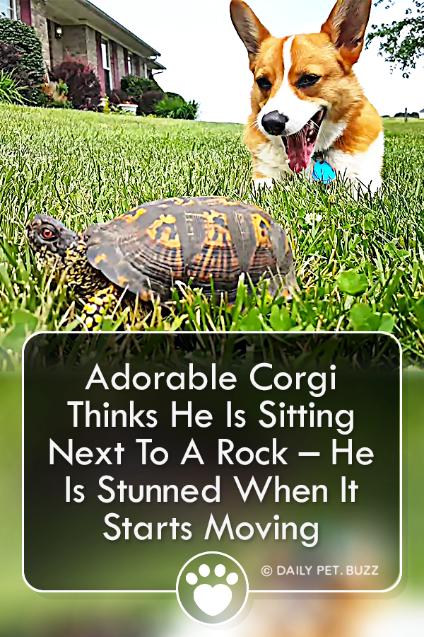 Adorable Corgi Thinks He Is Sitting Next To A Rock – He Is Stunned When It Starts Moving