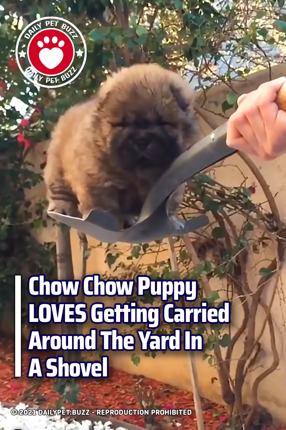 Chow Chow Puppy LOVES Getting Carried Around The Yard In A Shovel