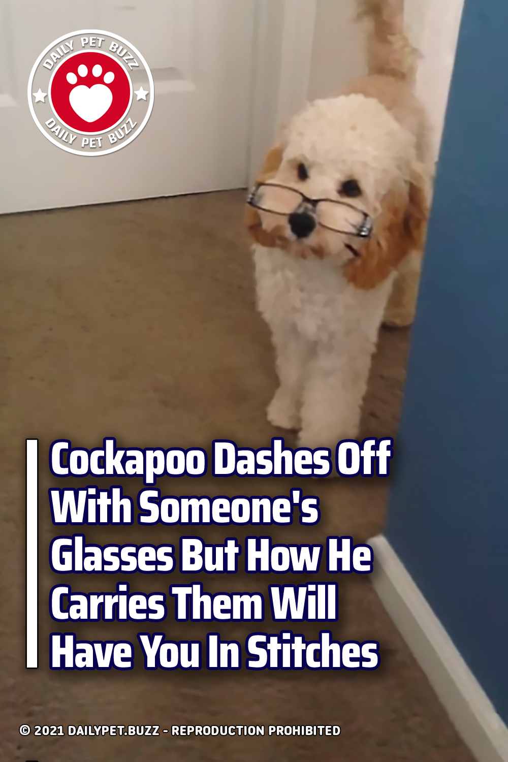 Cockapoo Dashes Off With Someone\'s Glasses But How He Carries Them Will Have You In Stitches