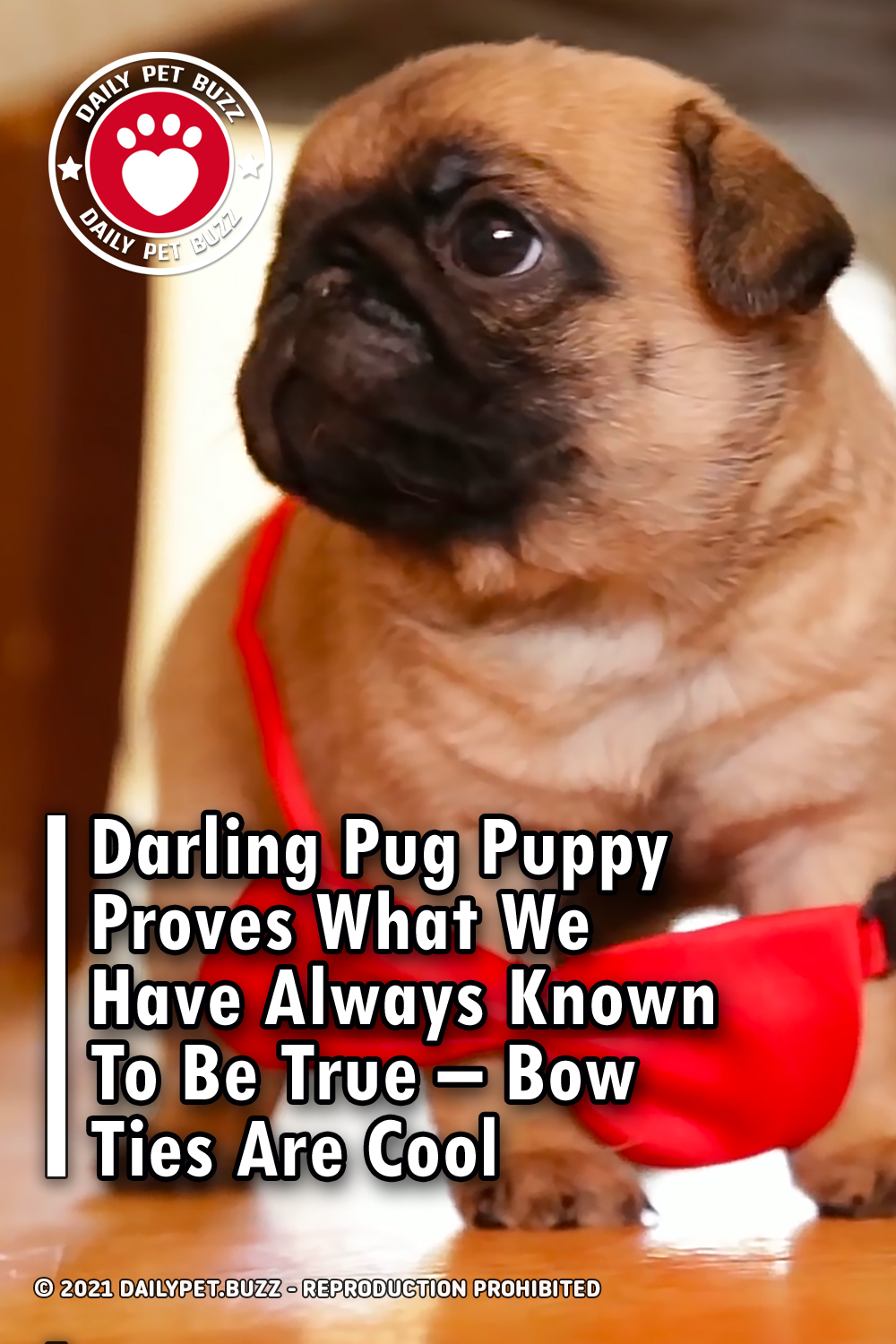 Darling Pug Puppy Proves What We Have Always Known To Be True – Bow Ties Are Cool