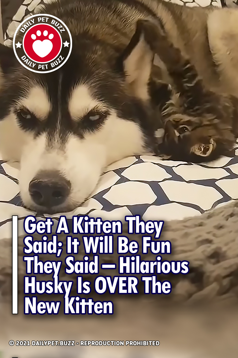 Get A Kitten They Said; It Will Be Fun They Said – Hilarious Husky Is OVER The New Kitten