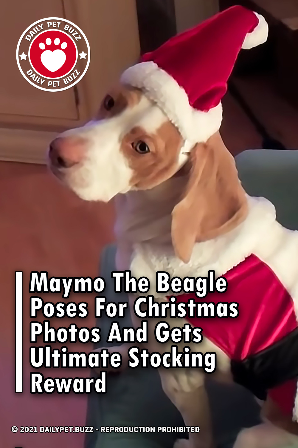 Maymo The Beagle Poses For Christmas Photos And Gets Ultimate Stocking Reward