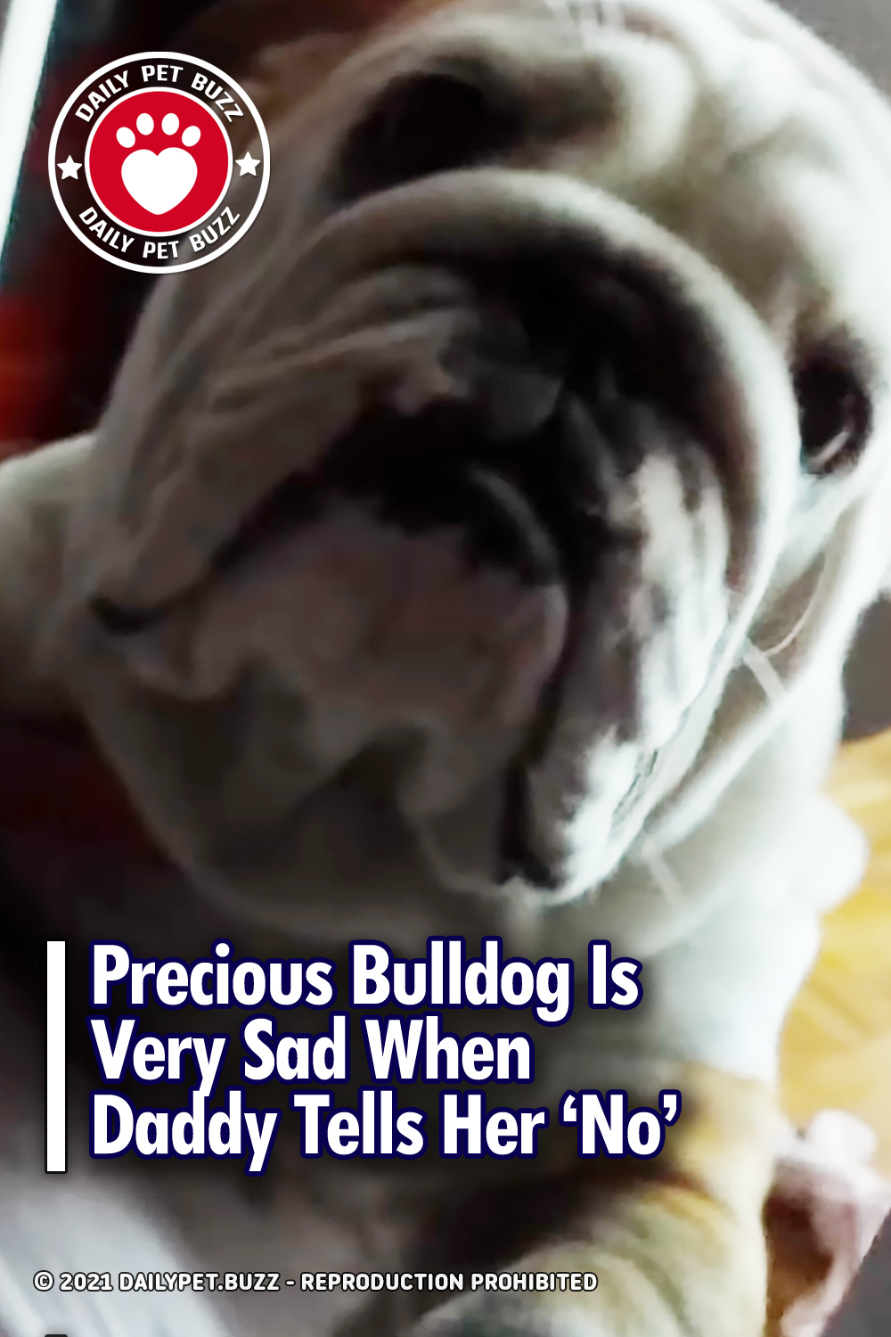 Precious Bulldog Is Very Sad When Daddy Tells Her \'No\'