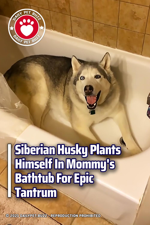 Siberian Husky Plants Himself In Mommy\'s Bathtub For Epic Tantrum