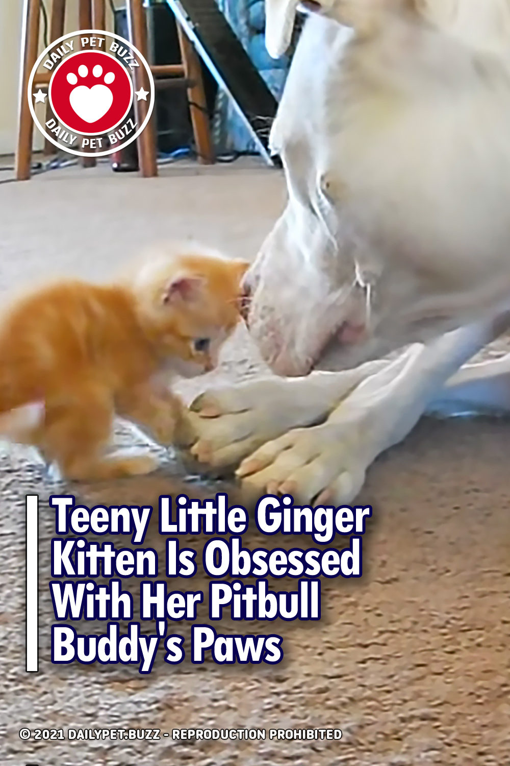 Teeny Little Ginger Kitten Is Obsessed With Her Pitbull Buddy\'s Paws