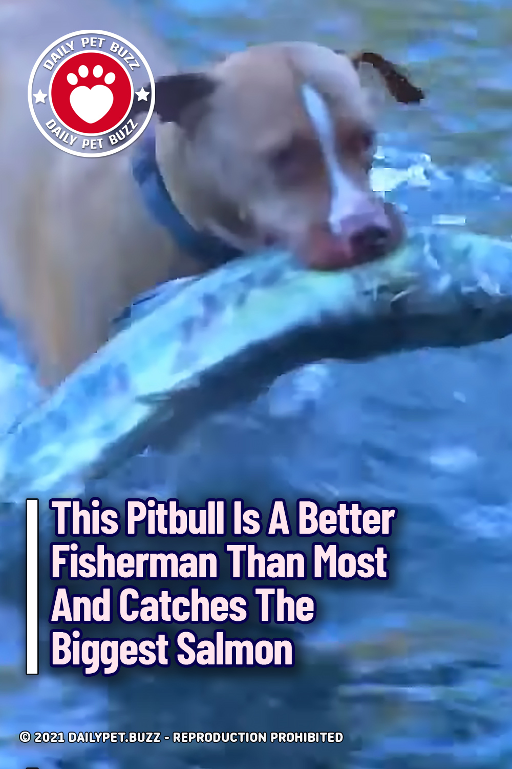 This Pitbull Is A Better Fisherman Than Most And Catches The Biggest Salmon