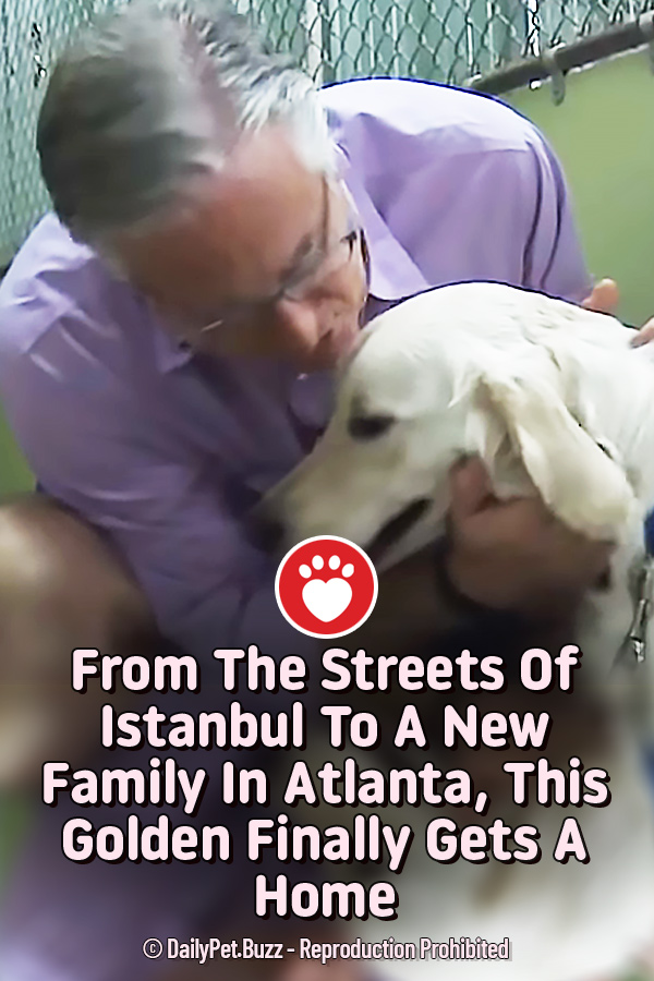 From The Streets Of Istanbul To A New Family In Atlanta, This Golden Finally Gets A Home