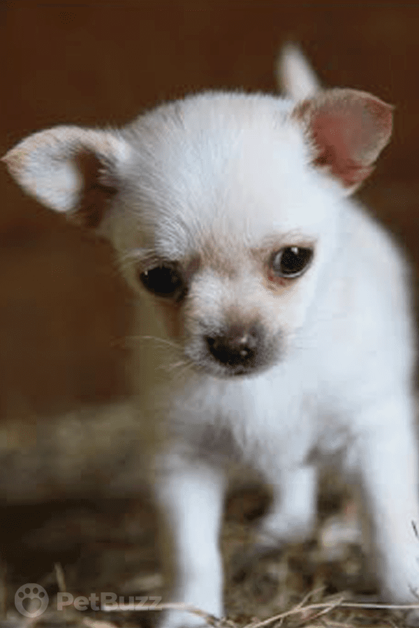 3971-Pinset-This-Little-Chihuahua-Was-Terribly-Shy,-But-Then-She-Made-Some-Special-Friends.-Now-Look-At-Her