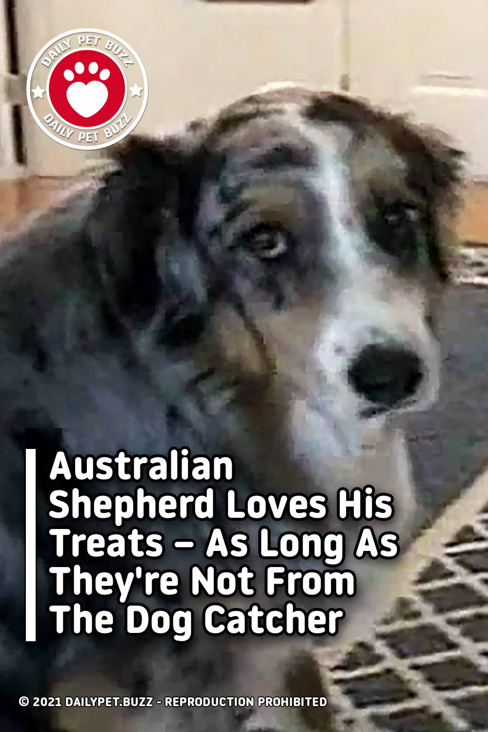 Australian Shepherd Loves His Treats – As Long As They\'re Not From The Dog Catcher