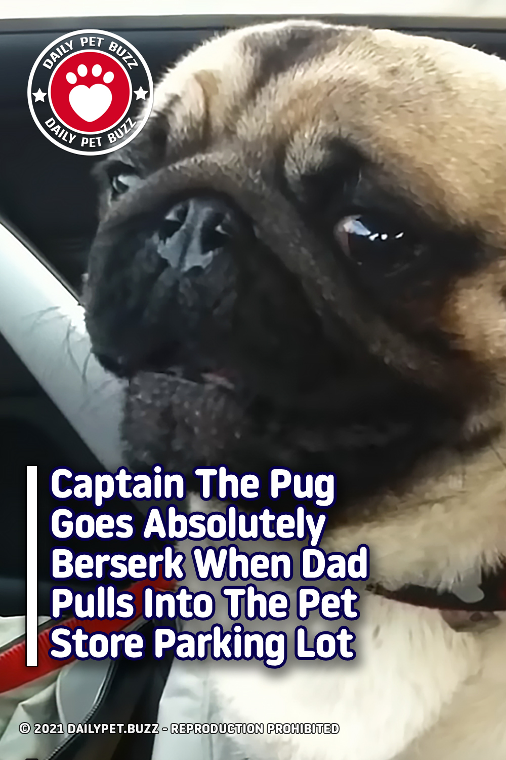 Captain The Pug Goes Absolutely Berserk When Dad Pulls Into The Pet Store Parking Lot