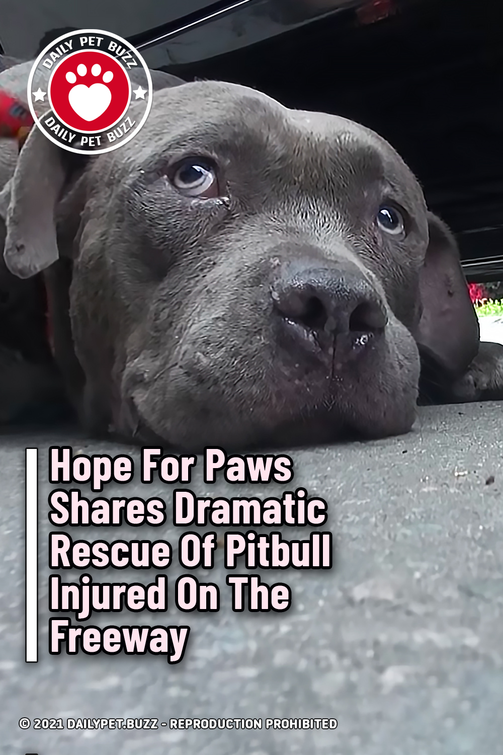 Hope For Paws Shares Dramatic Rescue Of Pitbull Injured On The Freeway